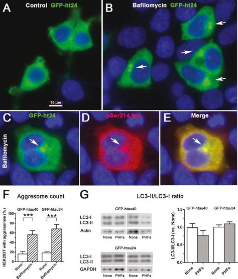 Extracellular Tau Paired Helical Filaments Differentially