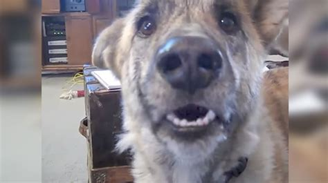 Dad Tells Dog He Ate All The Bacon — Captures Hysterical