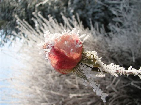 'Lo, How a Rose E'er Blooming' Is a Musician's Christmas