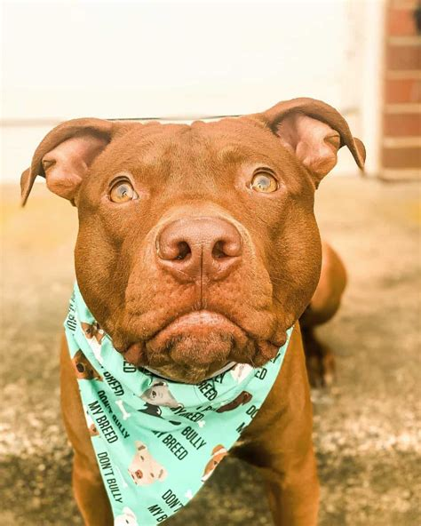 Red Nose Pitbull 101: What You Need to Know - K9 Web