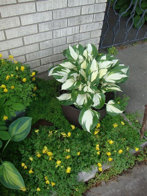 Hostas Are Wonderful in Containers - Garden