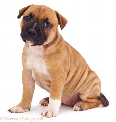 Dog: Staffordshire Bull Terrier puppy photo WP07466