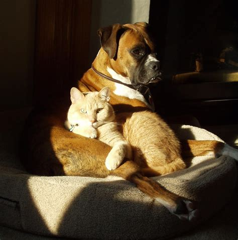 Brindle Boxer And House Cat | Free Images at Clker